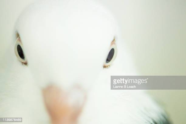pidgeon eye - lianne loach stock pictures, royalty-free photos & images