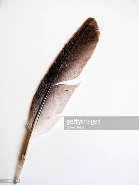 Pidgeon feather