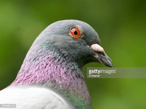pidgeon portrait