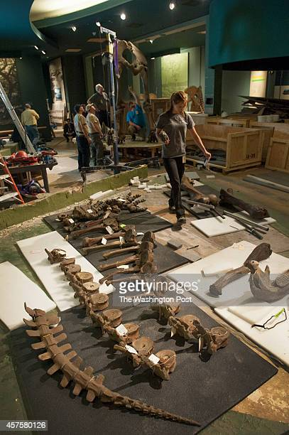 Pieces of a Wooly Mammoth are laid out for tagging then packing as crews deconstruct the prehistoric beast at the Smithsonian Museum of Natural...