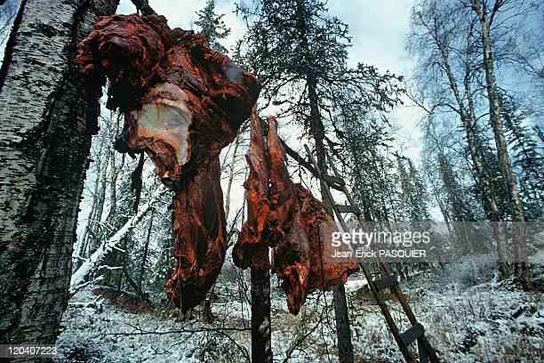 Pieces of moose of Canada in Alaska United States hanged up high to keep it away from wolves in the forest