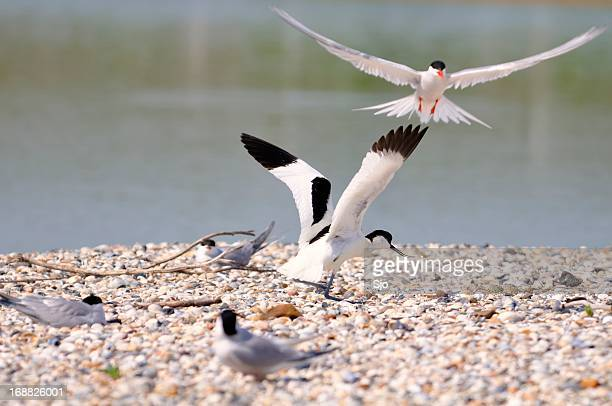 Pied Avocet and Common Tern