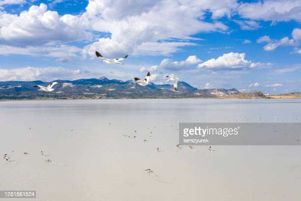 pied avocet flying on lake - wildlife reserve stock pictures, royalty-free photos & images