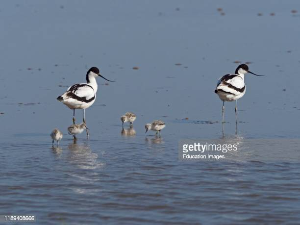 Pied Avocet, Recurvirostra avosetta, pair with day old family of four chicks, North Norfolk.