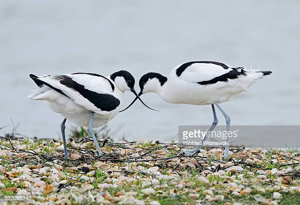 Pied avocets at nest