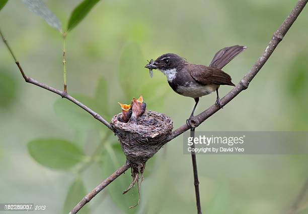 pied fantail_3939 - birds nest stock photos and pictures