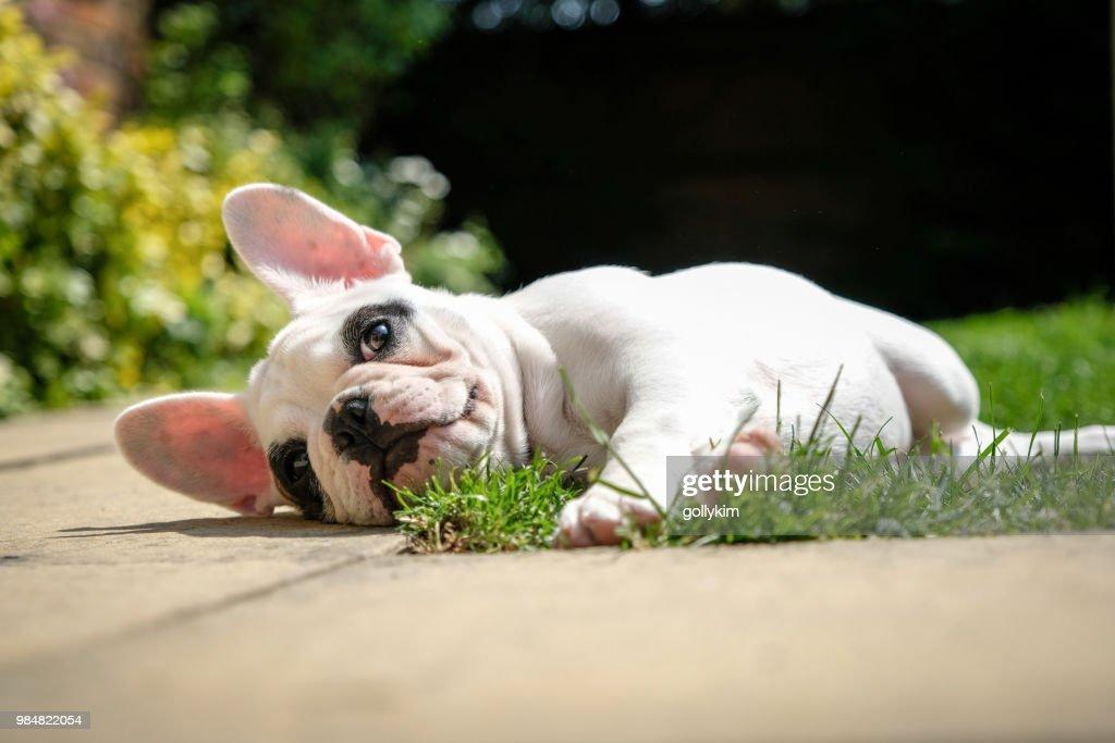 Filhote de buldogue francês Pied descansando no jardim, deitado na grama no jardim de uma casa inglesa. : Foto de stock