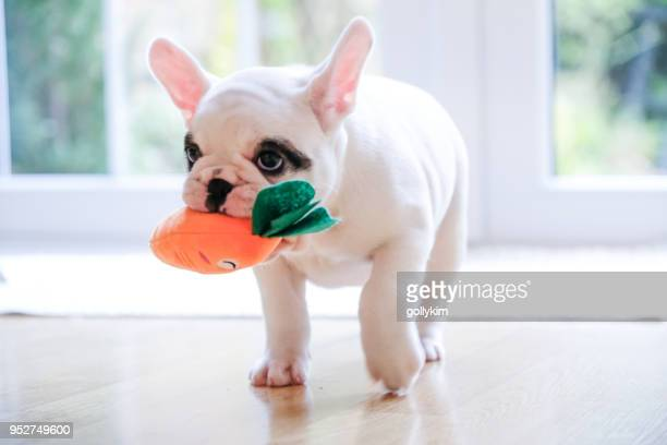 pied french bulldog puppy walking with a carrot toy in her mouth - pet toy stock pictures, royalty-free photos & images