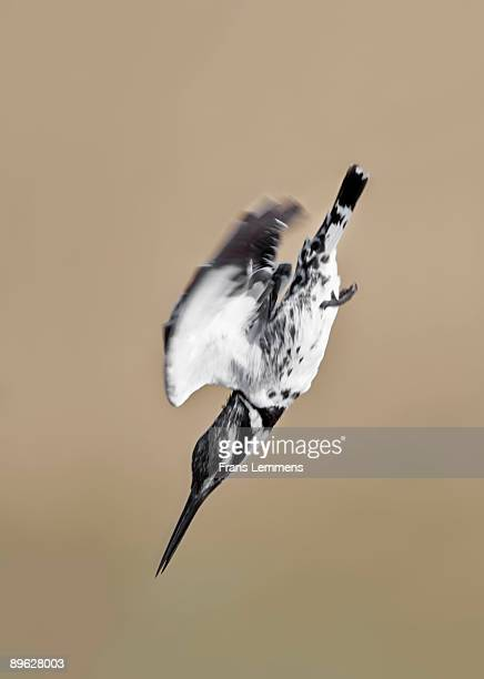 Pied Kingfisher. Diving for fish