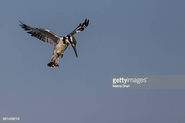 Pied Kingfisher hovering over river