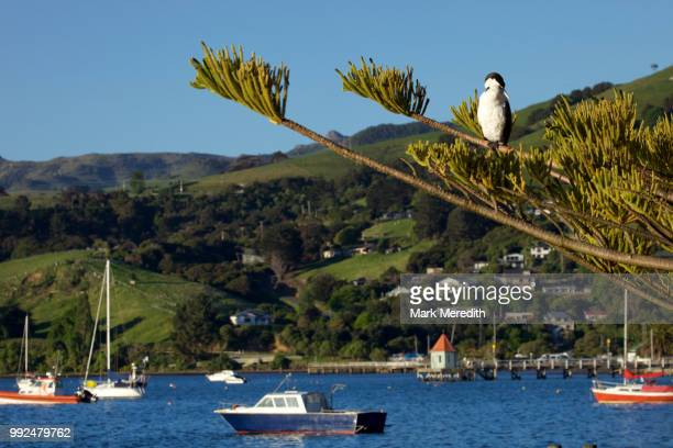 Pied shag in a tree on the waterfront in Akaroa