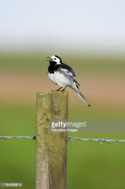 Pied Wagtail, Motacilla alba, male in song, Norfolk spring.