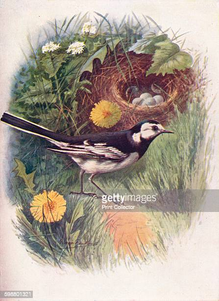 Pied Wagtail - Motacilla lugubris, circa 1910, . From Britains Birds and Their Nests, by A. Landsborough Thomson. [The Waverley Book Company,...