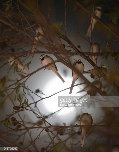 Pied Wagtails, Motacilla alba, silhouetted against the moon roosting in tree in shopping center, Kent.