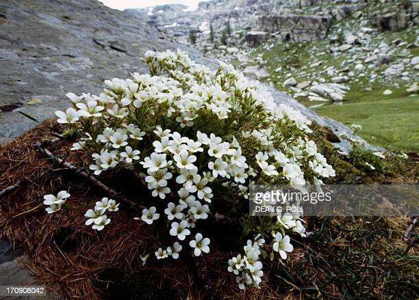 Piedmont saxifrage , Vallee des Merveilles, Mercantour National Park , Alpes-Maritimes, Provence-Alpes-Cote d'Azur, France.