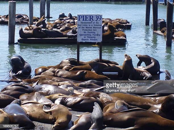 Pier 39, Fishermans Wharf, San Francisco, California. California sea lionslounge in the sunshine