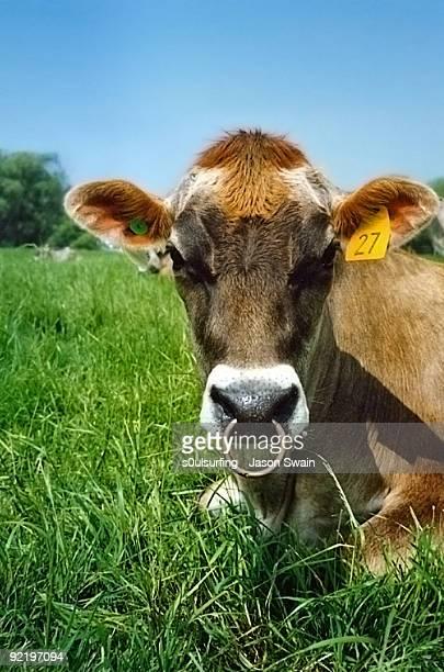 pierced cow  - s0ulsurfing stockfoto's en -beelden