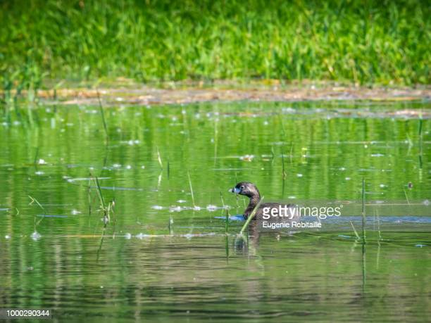 Pierd-billed Grebe in water