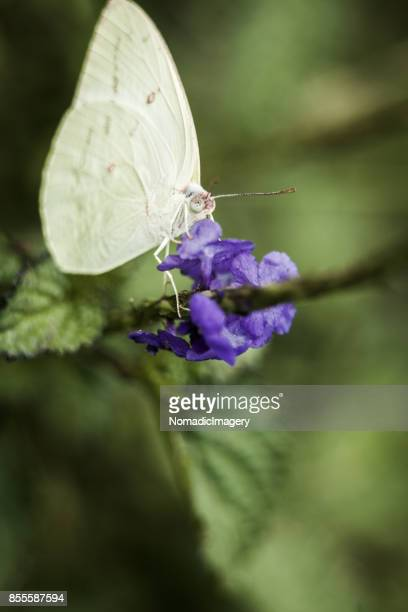 Pieris rapae the Cabbage White Butterfly macro photo