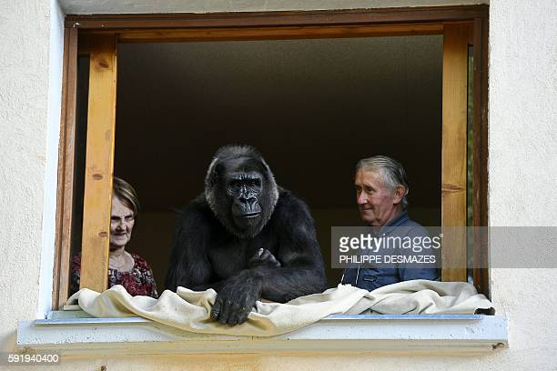 Pierre Thivillon director of the zoological park of SaintMartinLaPlaine and his wife Eliane look at Digit an 18yearold female gorilla on August 19 in...