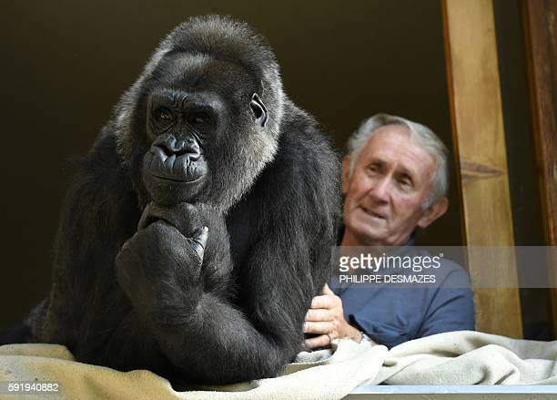 Pierre Thivillon director of the zoological park of SaintMartinLaPlaine stands next to Digit an 18yearold female gorilla on August 19 in...