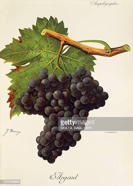 Pierre Viala Victor Vermorel Traite General de Viticulture Ampelographie 19011910 Tome V plate Argant grape Illustration by J Troncy