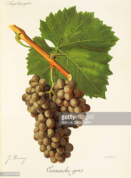 Pierre Viala Victor Vermorel Traite General de Viticulture Ampelographie 19011910 Tome VI plate Grenache Gris grape Illustration by J Troncy