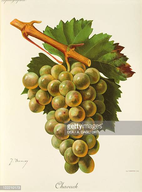 Pierre Viala Victor Vermorel Traite General de Viticulture Ampelographie 19011910 Tome II plate Chaouch grape Illustration by J Troncy