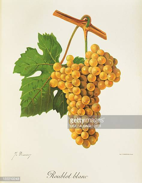 Pierre Viala Victor Vermorel Traite General de Viticulture Ampelographie 19011910 Tome IV plate Roublot Blanc grape Illustration by J Troncy