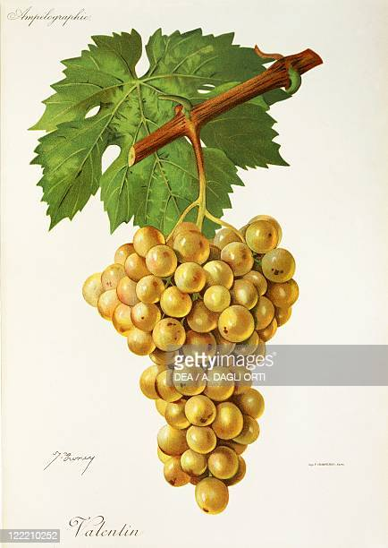 Pierre Viala Victor Vermorel Traite General de Viticulture Ampelographie 19011910 Tome III plate Valentin grape Illustration by J Troncy