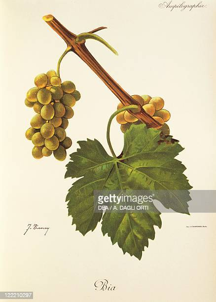 Pierre Viala Victor Vermorel Traite General de Viticulture Ampelographie 19011910 Tome VI plate Bia grape Illustration by J Troncy