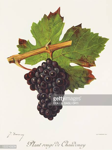 Pierre Viala Victor Vermorel Traite General de Viticulture Ampelographie 19011910 Tome III plate Plant Rouge de Chaudenay grape Illustration by J...