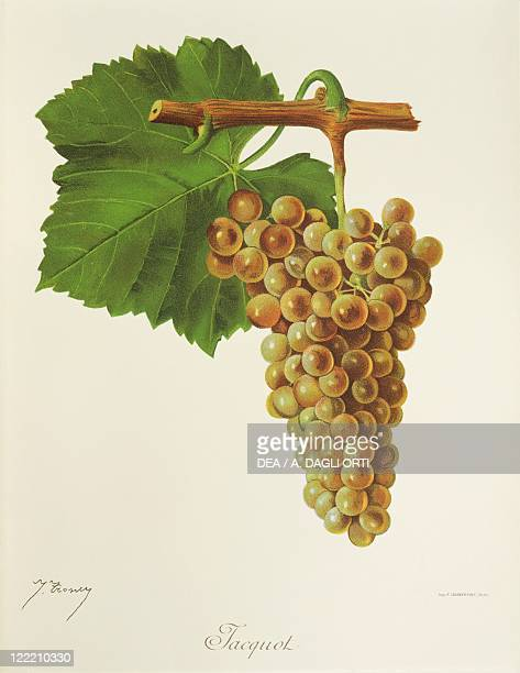 Pierre Viala Victor Vermorel Traite General de Viticulture Ampelographie 19011910 Tome III plate Jacquot grape Illustration by J Troncy