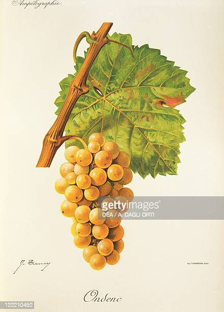 Pierre Viala Victor Vermorel Traite General de Viticulture Ampelographie 19011910 Tome IV plate Ondenc grape Illustration by J Troncy