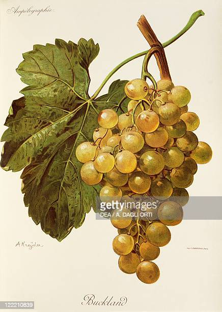 Pierre Viala Victor Vermorel Traite General de Viticulture Ampelographie 19011910 Tome V plate Buckland grape Illustration by A Kreyder