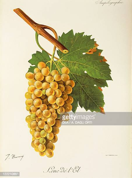 Pierre Viala Victor Vermorel Traite General de Viticulture Ampelographie 19011910 Tome III plate Lenc de l'El grape Illustration by J Troncy