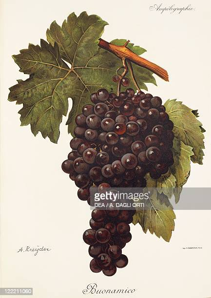 Pierre Viala Victor Vermorel Traite General de Viticulture Ampelographie 19011910 Tome IV plate Buonamico grape Illustration by A Kreyder