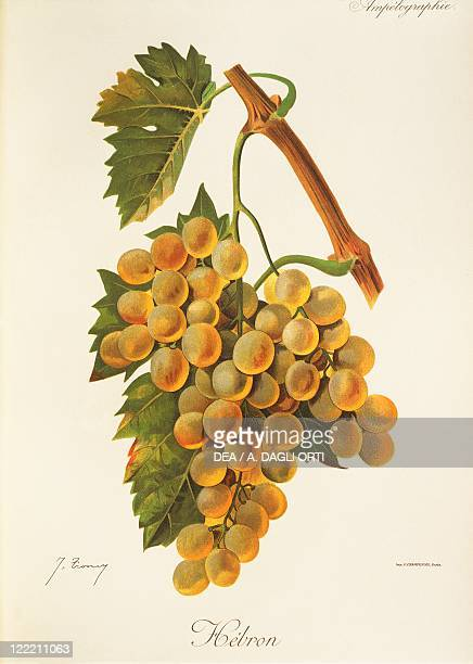 Pierre Viala Victor Vermorel Traite General de Viticulture Ampelographie 19011910 Tome IV plate Hebron grape Illustration by J Troncy