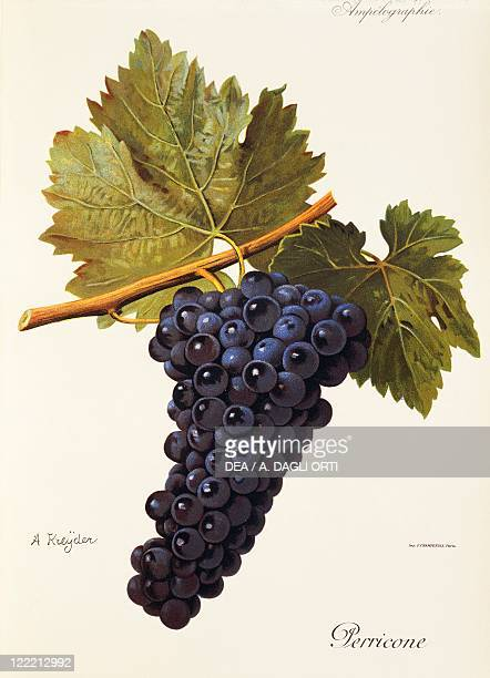 Pierre Viala Victor Vermorel Traite General de Viticulture Ampelographie 19011910 Tome VI plate Perricone grape Illustration by A Kreyder