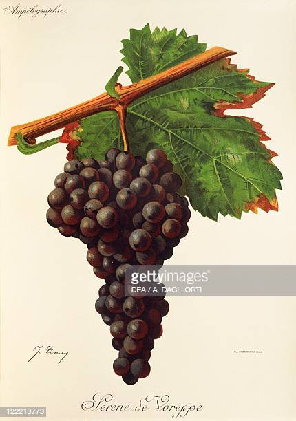 Pierre Viala Victor Vermorel Traite General de Viticulture Ampelographie 19011910 Tome V plate Serene de Voreppe grape Illustration by J Troncy