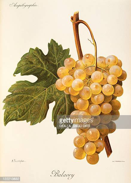 Pierre Viala Victor Vermorel Traite General de Viticulture Ampelographie 19011910 Tome IV plate Balavry grape Illustration by A Kreyder