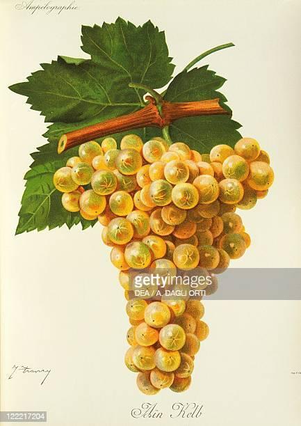 Pierre Viala Victor Vermorel Traite General de Viticulture Ampelographie 19011910 Tome II plate Marsanne grape Illustration by J Troncy