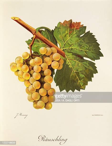 Pierre Viala Victor Vermorel Traite General de Viticulture Ampelographie 19011910 Tome V plate Rauschling grape Illustration by J Troncy