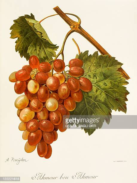 Pierre Viala Victor Vermorel Traite General de Viticulture Ampelographie 19011910 Tome III plate Ahmeur Bou Hameur grape Illustration by A Kreyder