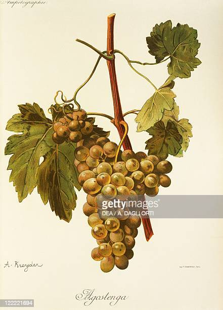 Pierre Viala Victor Vermorel Traite General de Viticulture Ampelographie 19011910 Tome III plate Agostenga grape Illustration by A Kreyder