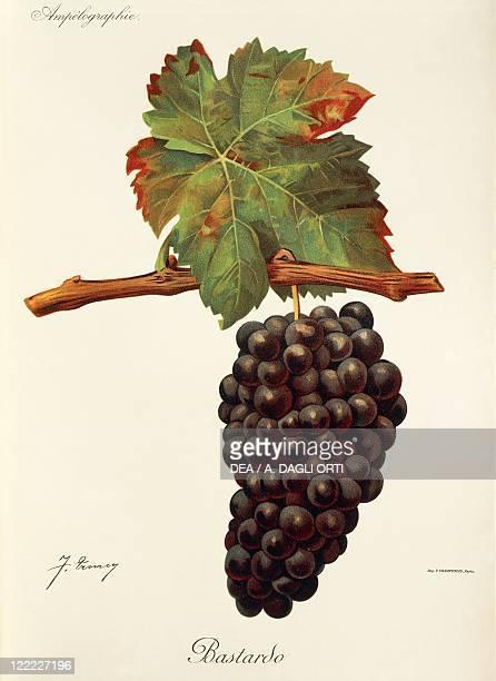 Pierre Viala Victor Vermorel Traite General de Viticulture Ampelographie 19011910 Tome IV plate Bastardo grape Illustration by J Troncy
