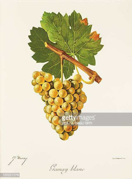 Pierre Viala Victor Vermorel Traite General de Viticulture Ampelographie 19011910 Tome III plate Gamay Blanc grape Illustration by J Troncy