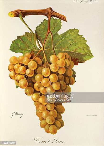 Pierre Viala Victor Vermorel Traite General de Viticulture Ampelographie 19011910 Tome V plate Terret Blanc grape Illustration by J Troncy