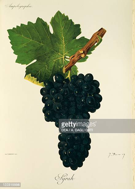 Pierre Viala Victor Vermorel Traite General de Viticulture Ampelographie 19011910 Tome II plate Syrah grape Illustration by J Troncy