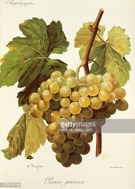 Pierre Viala Victor Vermorel Traite General de Viticulture Ampelographie 19011910 Tome V plate Panse Precoce grape Illustration by A Kreyder